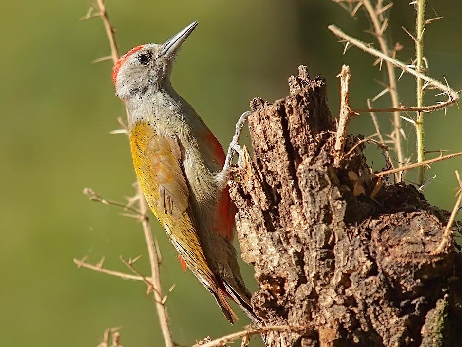 Mountain Gray Woodpecker - Oleg Chernyshov