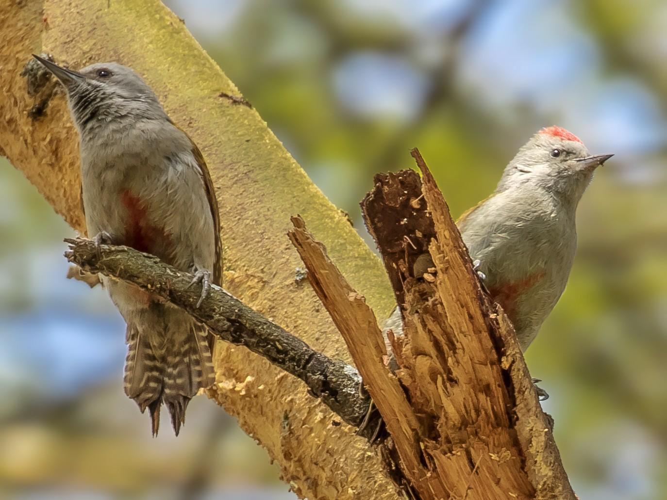 Mountain Gray Woodpecker - Chris Dennard