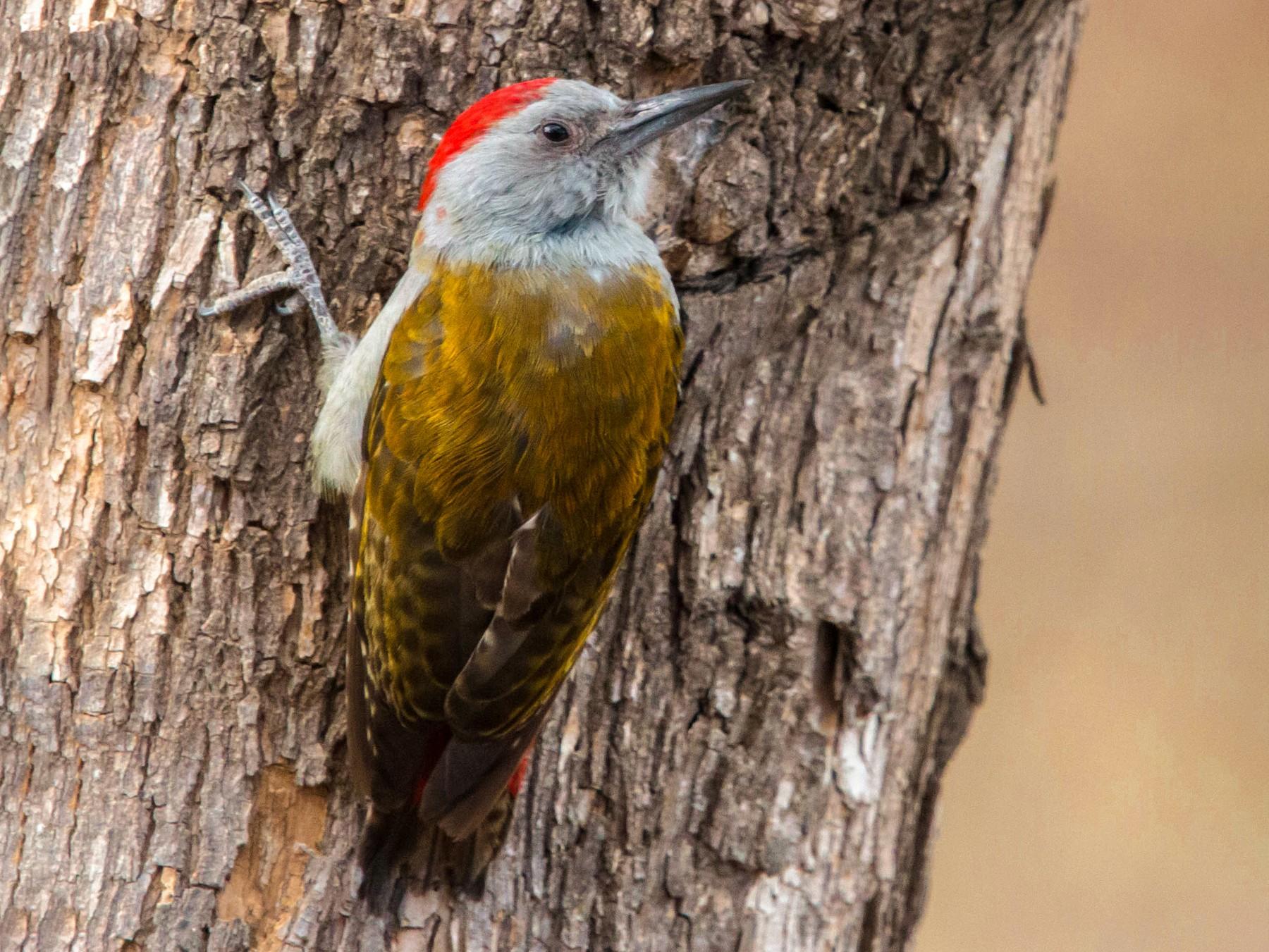 Mountain Gray Woodpecker - Kevin Vande Vusse