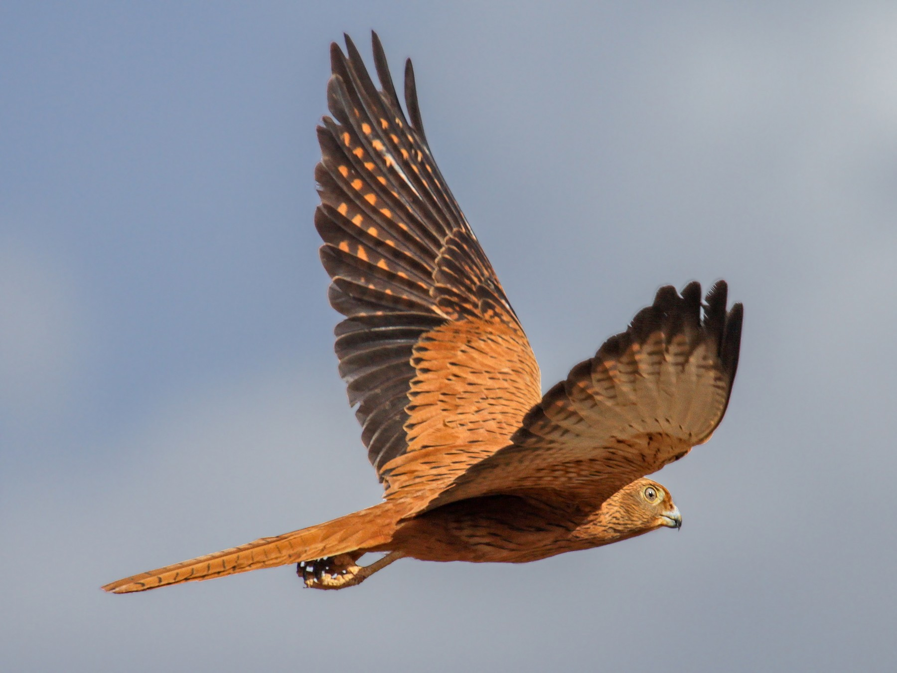 Fox Kestrel - Tommy Pedersen