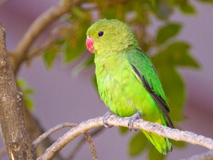 Black-winged Lovebird - Morten Venas