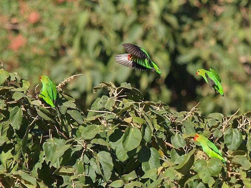 Black-winged Lovebird - Oleg Chernyshov