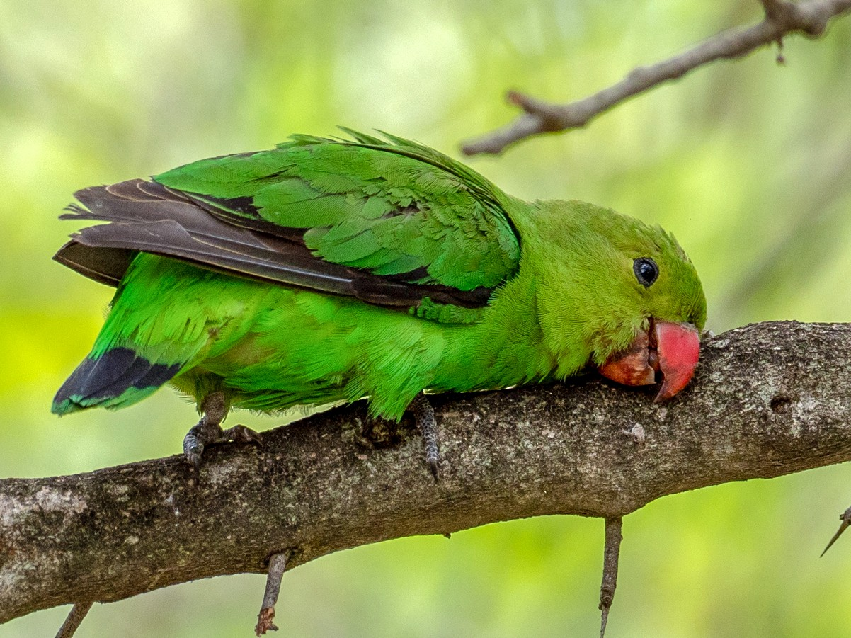 Black-winged Lovebird - Forest Jarvis