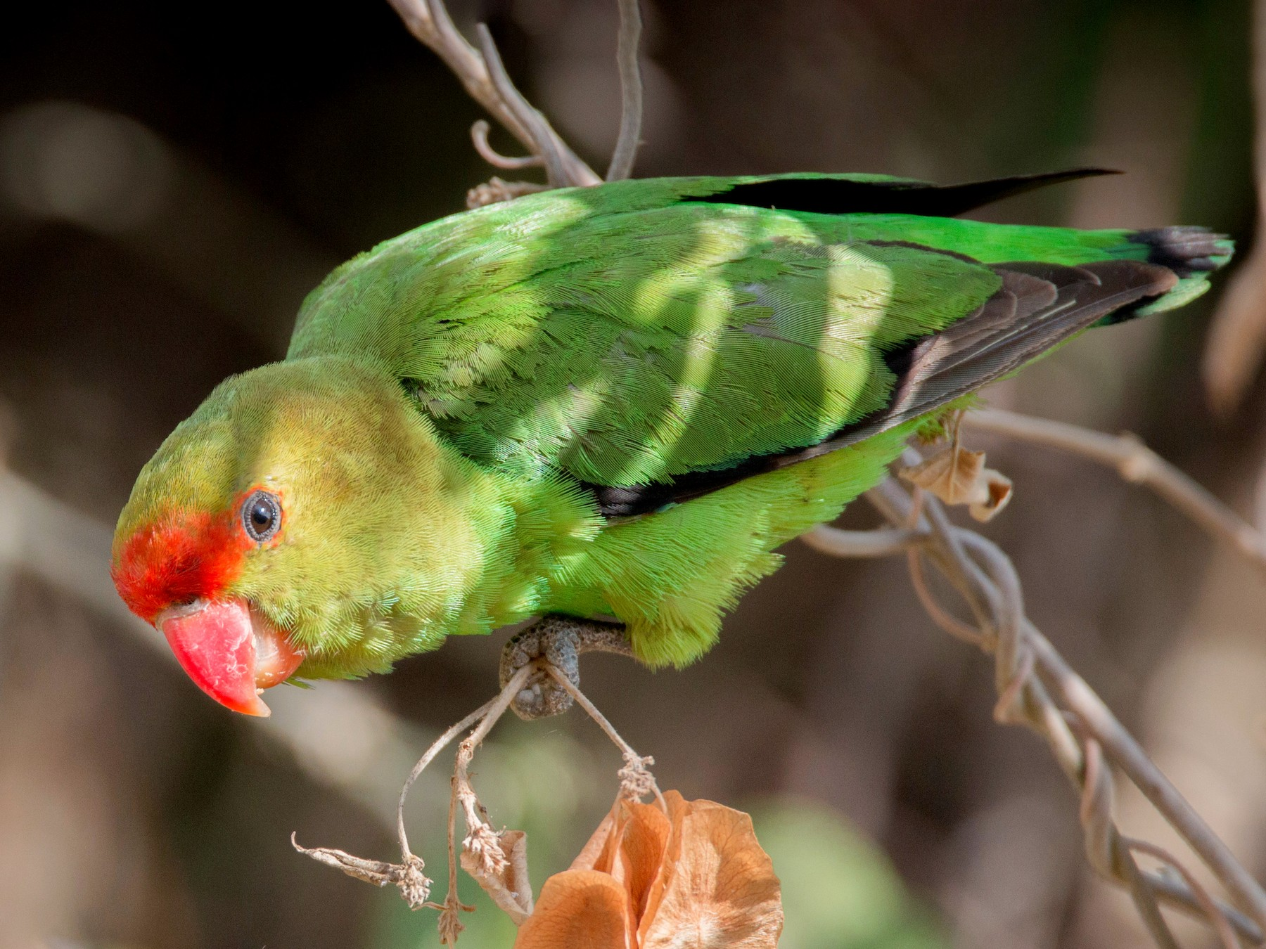 Black-winged Lovebird - Ian Davies