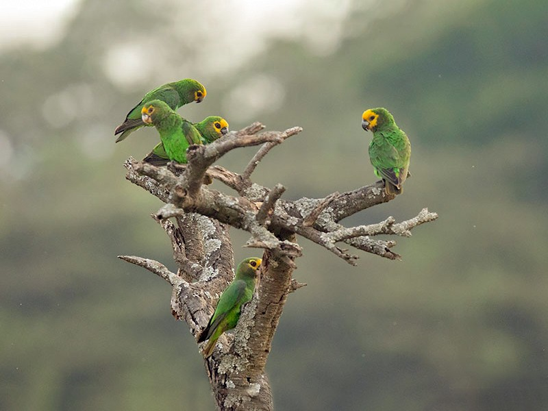 Yellow-fronted Parrot - Arthur Grosset
