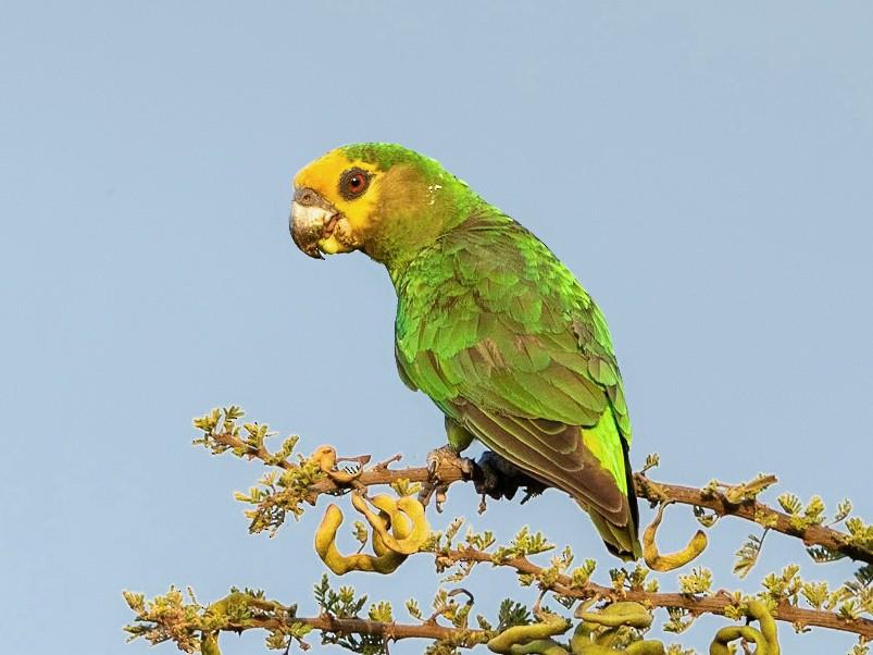 Yellow-fronted Parrot - Stefan  Hirsch