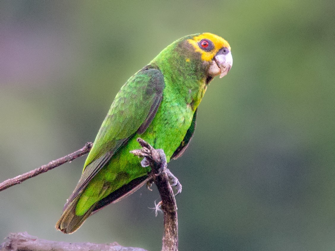 Yellow-fronted Parrot - Simon Colenutt