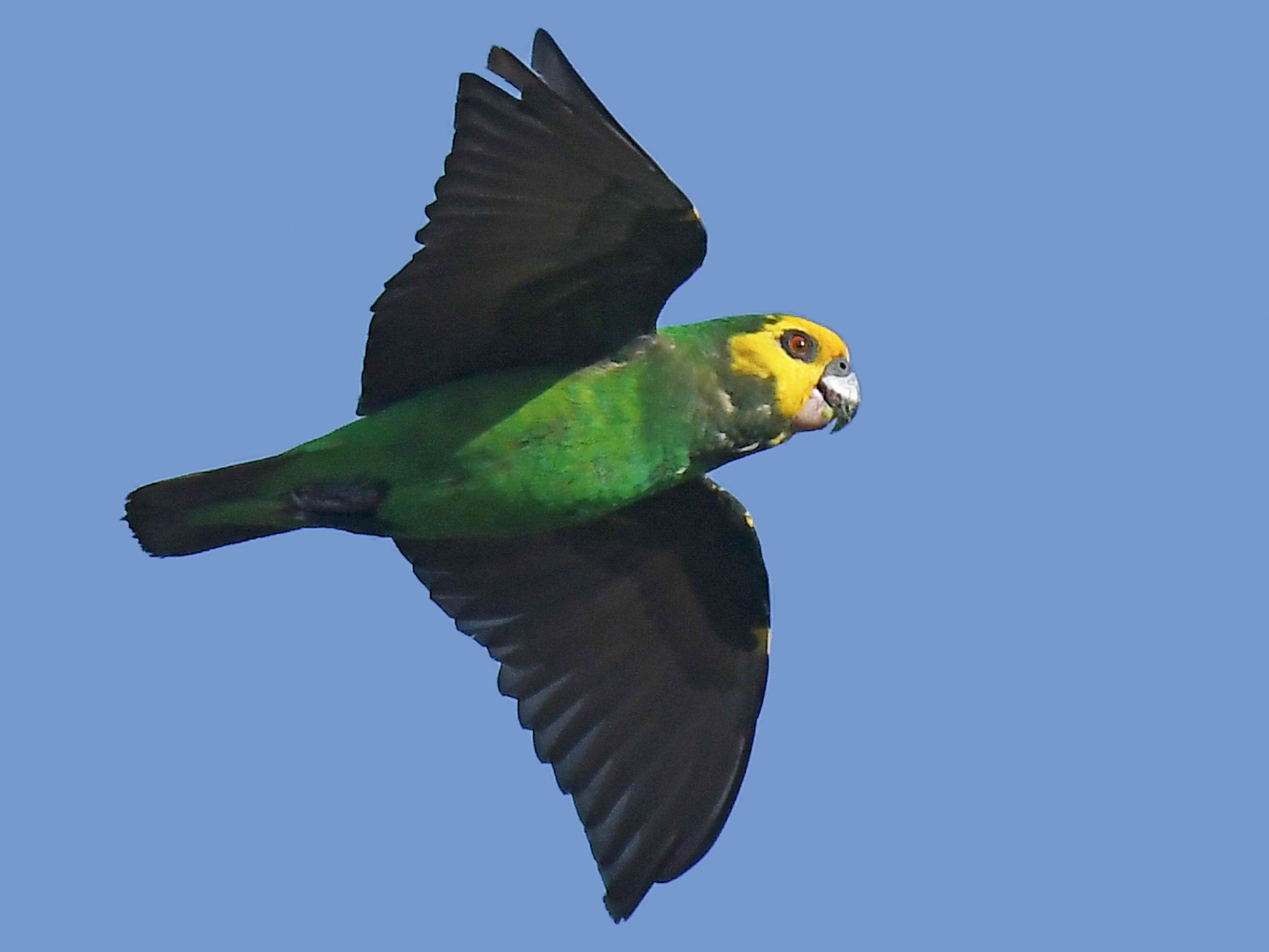 Yellow-fronted Parrot - Lev Frid