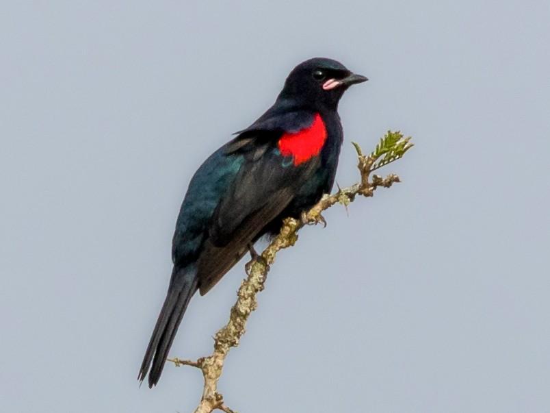 Red-shouldered Cuckooshrike - Christopher Sloan
