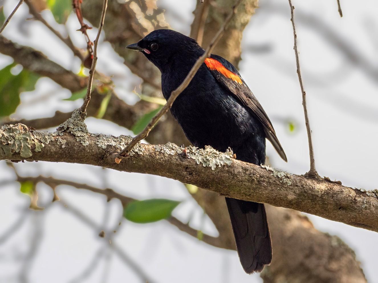 Red-shouldered Cuckooshrike - Forest Jarvis