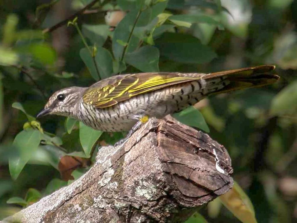 Red-shouldered Cuckooshrike - Ken Havard