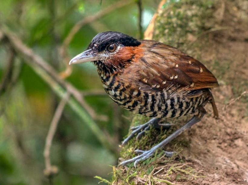 Black-crowned Antpitta - Luis Paz