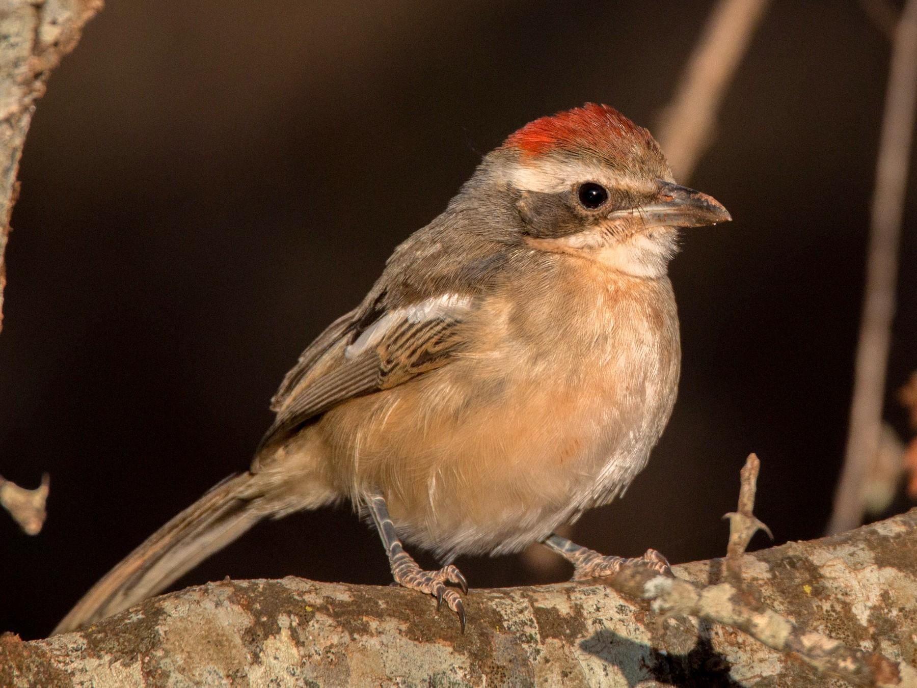 Red-naped Bushshrike - Ian Davies