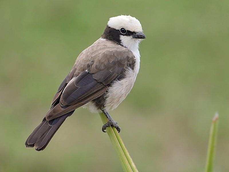 White-rumped Shrike - Nik Borrow