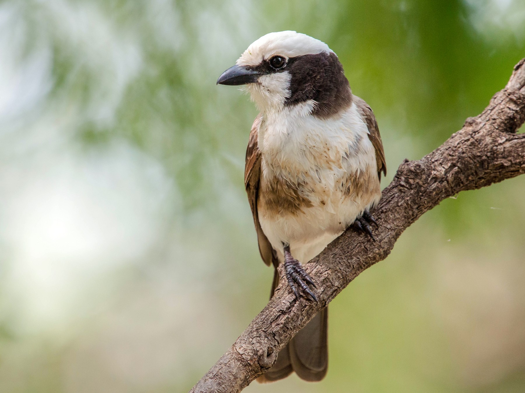 White-rumped Shrike - Kevin Vande Vusse