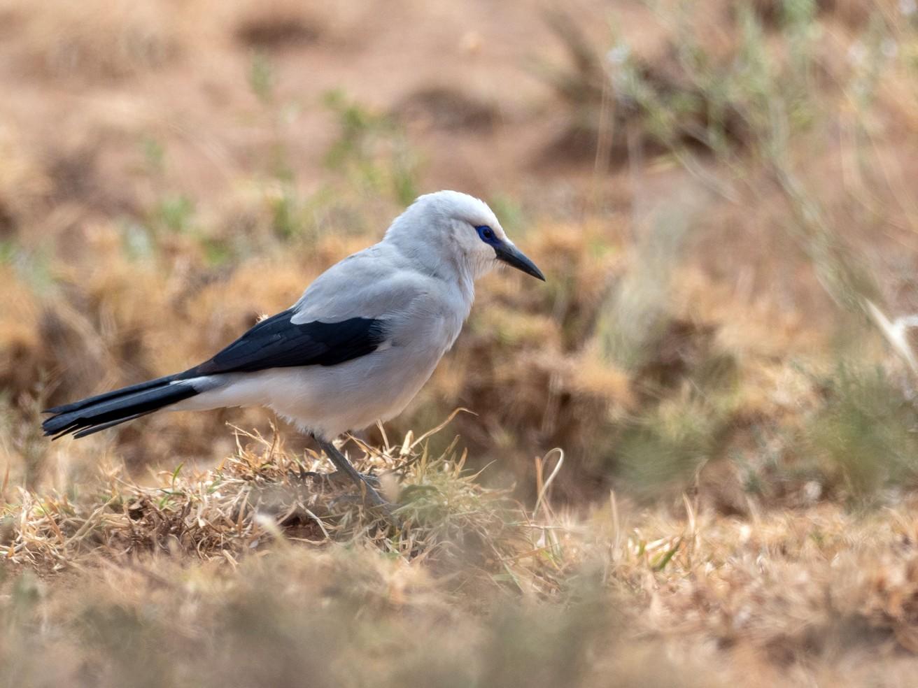 Stresemann's Bush-Crow - Forest Jarvis