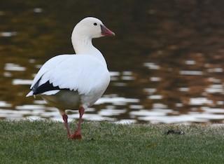 Ross's Goose, ML24617261