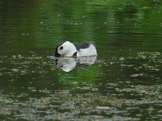 Cotton Pygmy-Goose, ML246189511