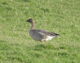 Tundra Bean-Goose, ML246464691