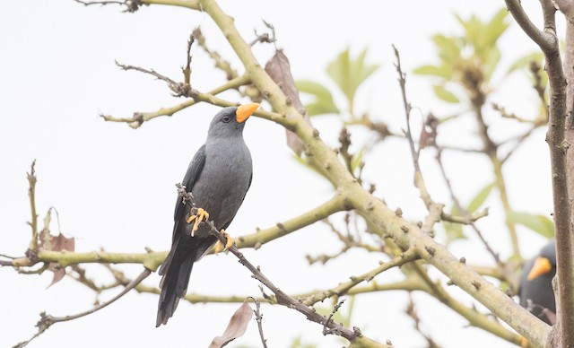 Finch-billed Myna