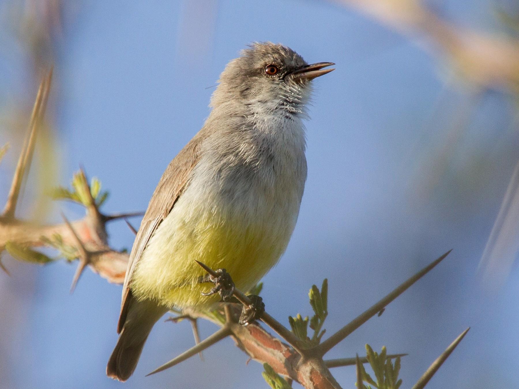 Yellow-vented Eremomela - Simon Colenutt