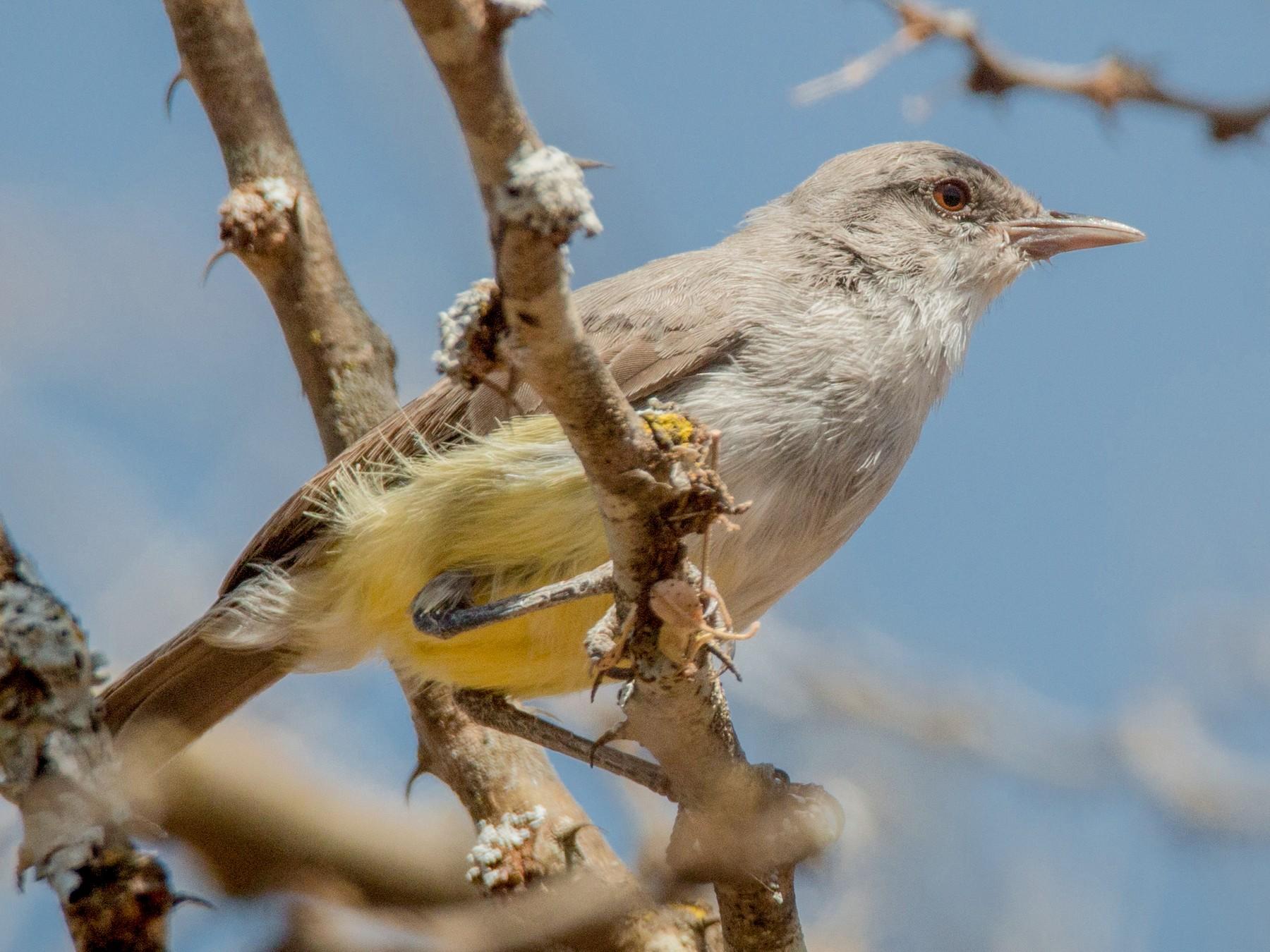 Yellow-vented Eremomela - Ian Davies
