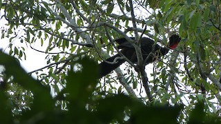 Crested Guan, ML24654511