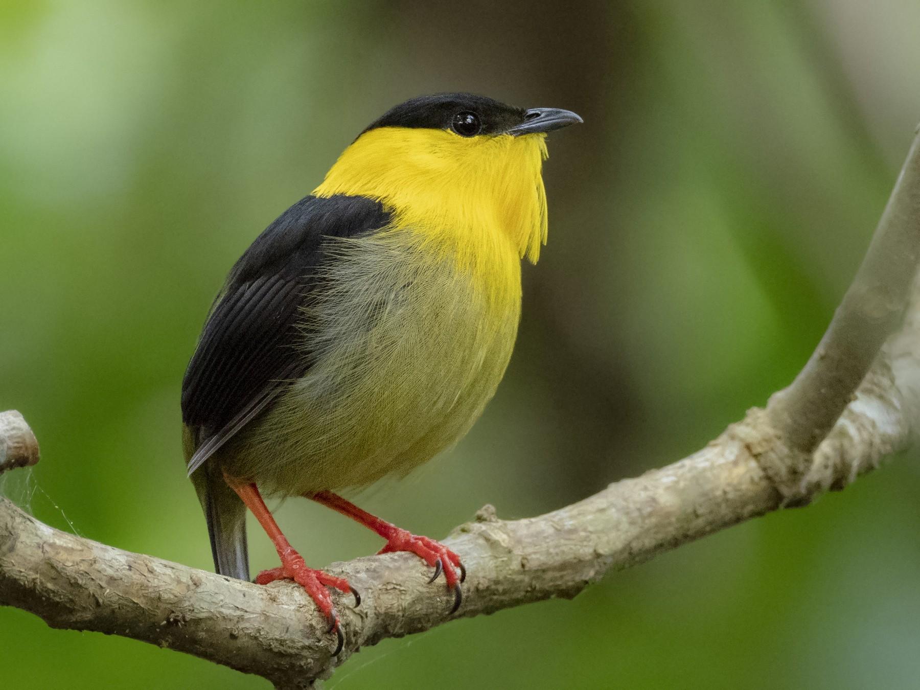Golden-collared Manakin - eBird