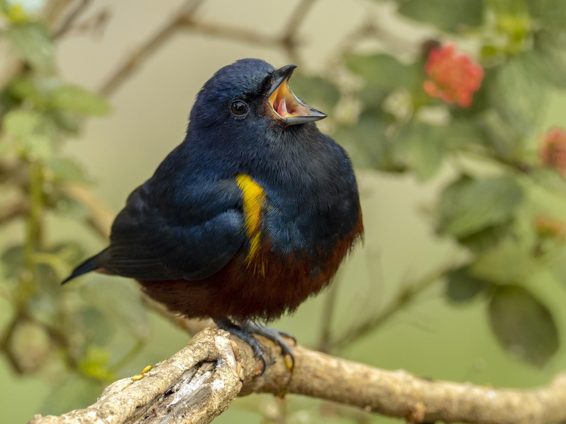 Chestnut-bellied Euphonia - Andres Vasquez Noboa - Tropical Birding Tours