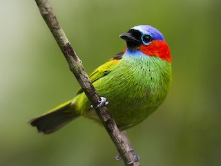- Red-necked Tanager