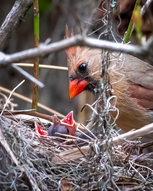 Female Northern Cardinal with young at nest.
