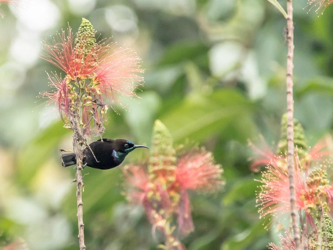 Green-throated Sunbird - Victor Michelini