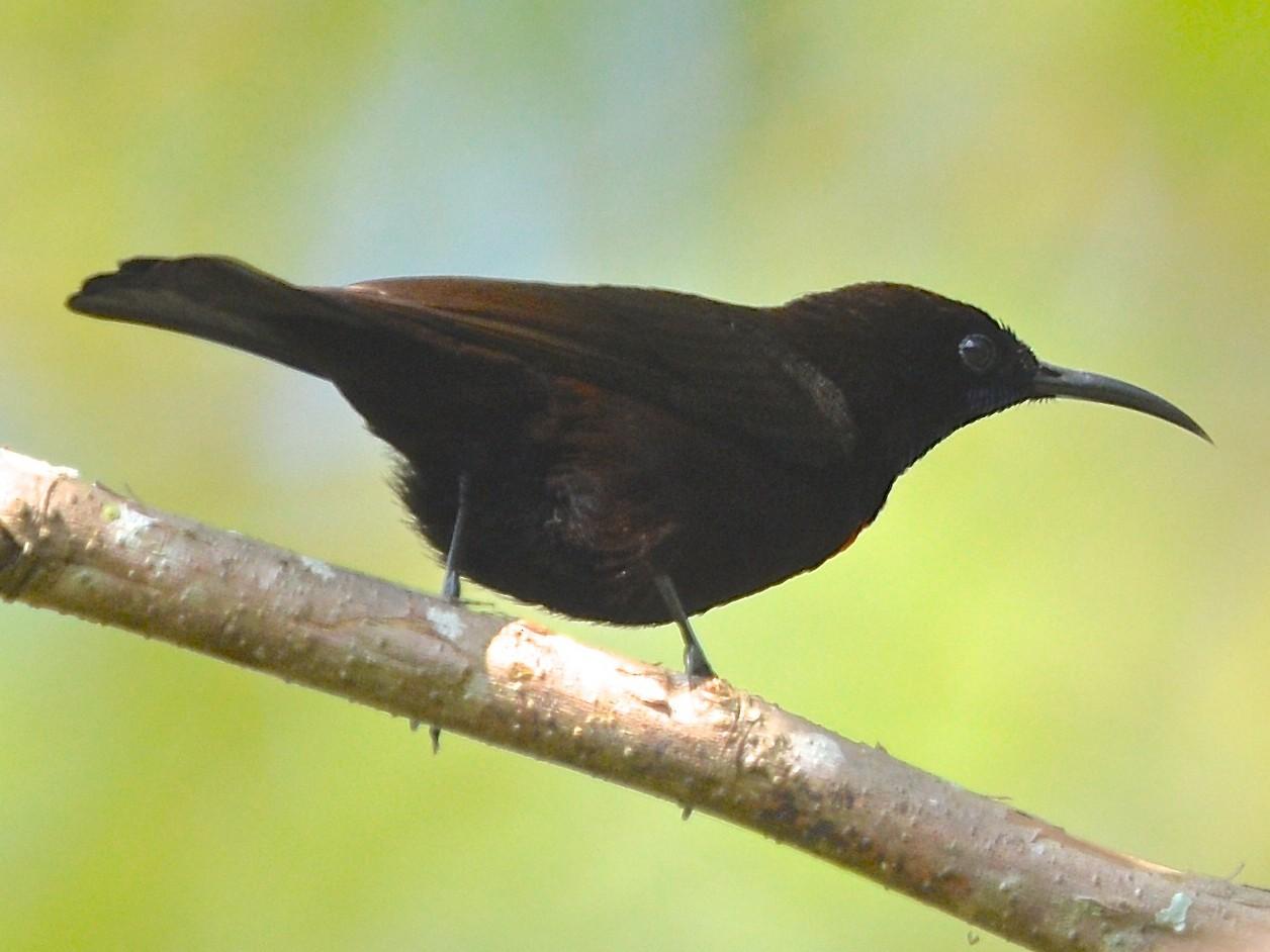 Green-throated Sunbird - Gerald Friesen