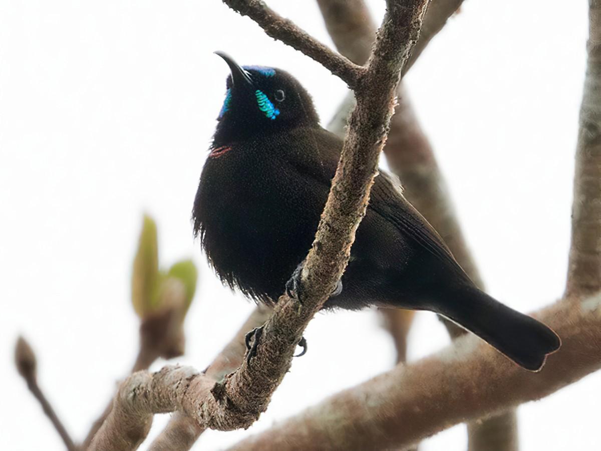 Green-throated Sunbird - Lars Petersson