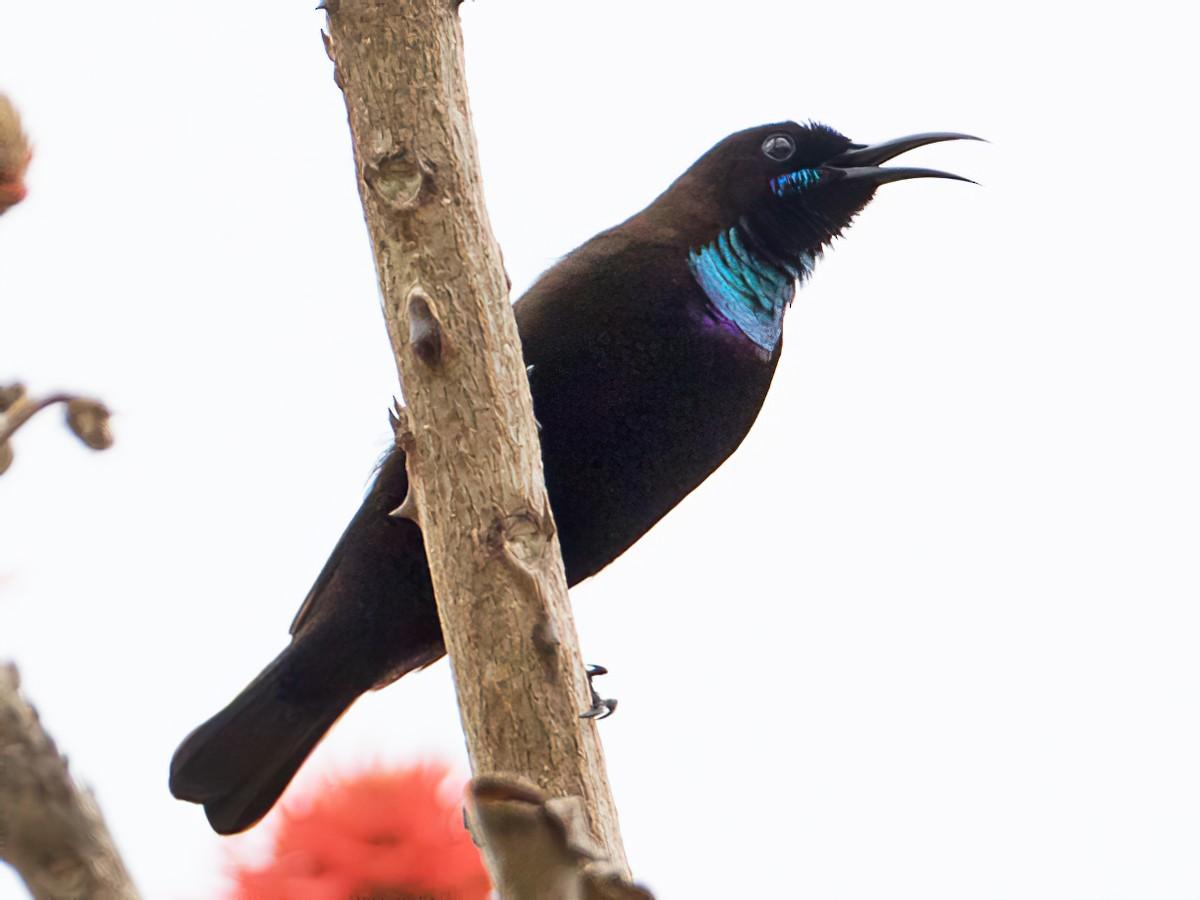 Green-throated Sunbird - Frédéric PELSY