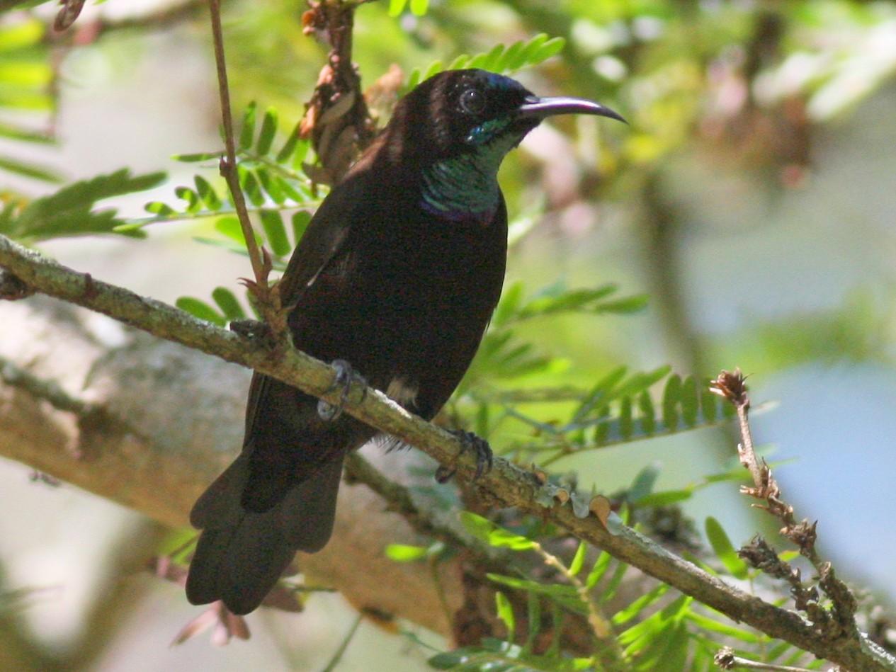 Green-throated Sunbird - Nate Swick