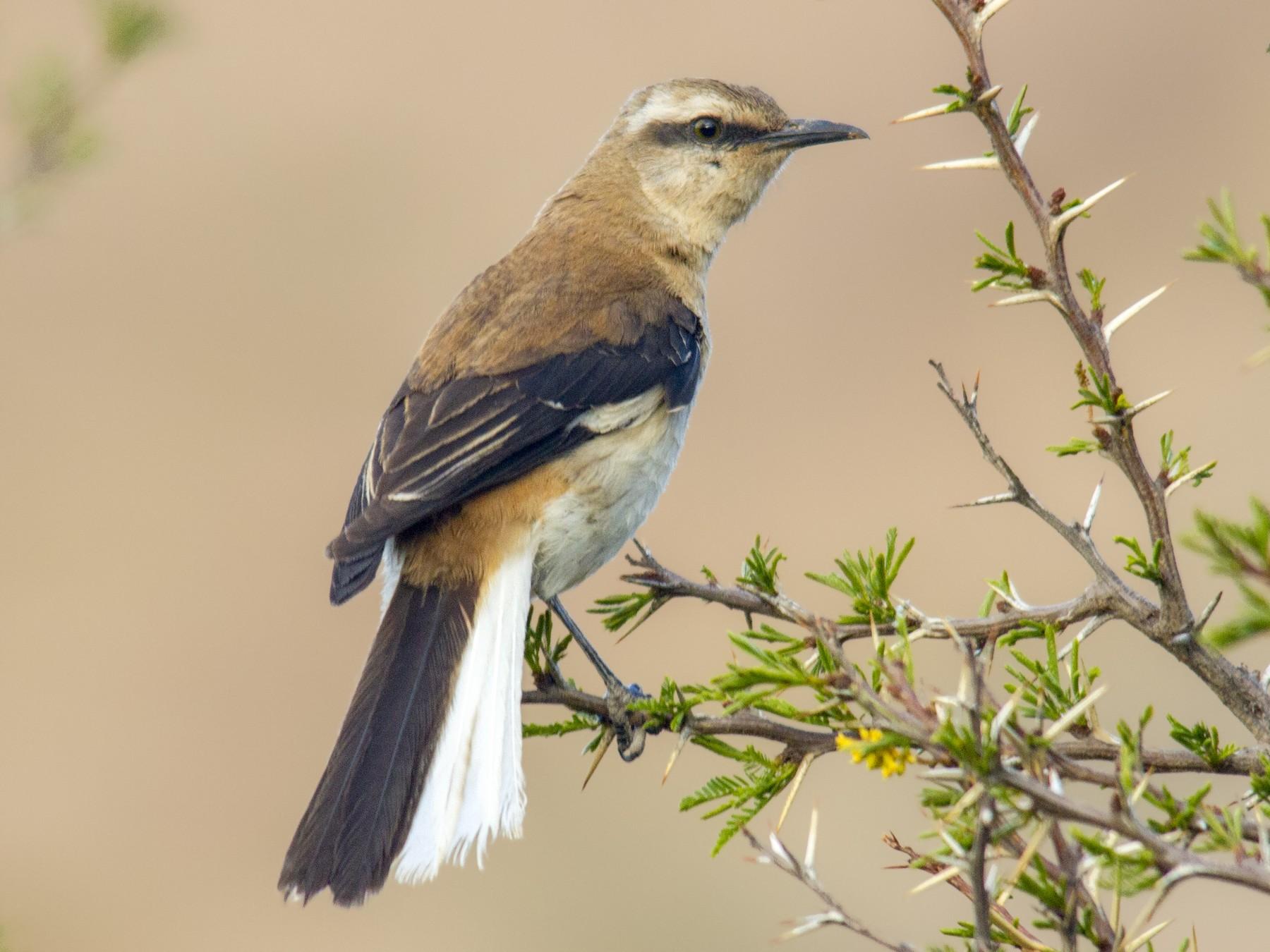 Brown-backed Mockingbird - Andres Vasquez