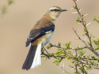 - Brown-backed Mockingbird