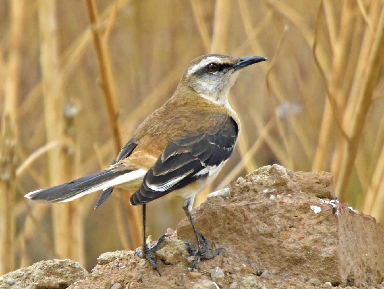 Brown-backed Mockingbird - Tini & Jacob Wijpkema