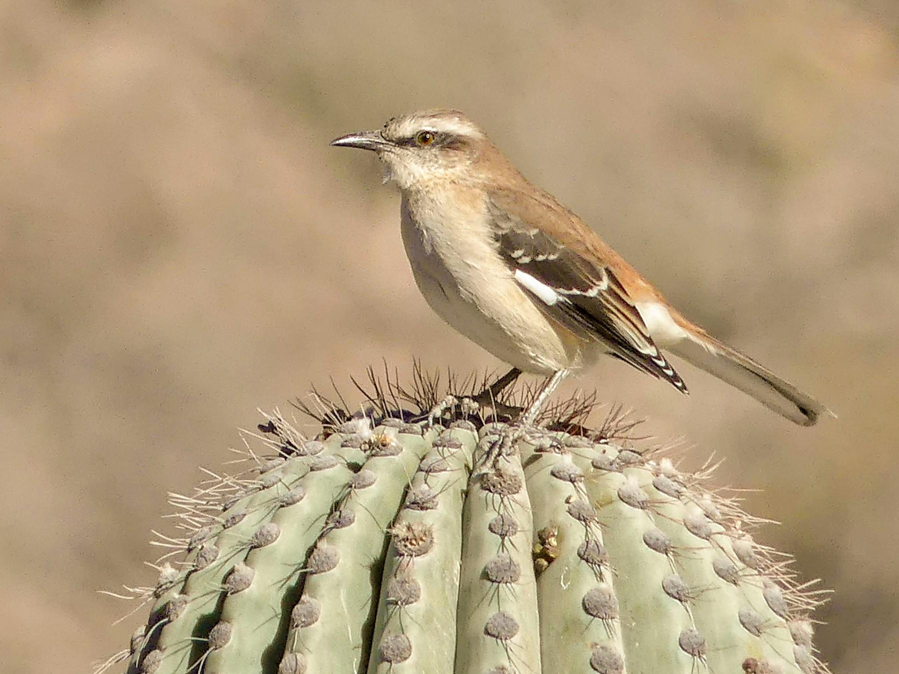 Brown-backed Mockingbird - Jorge  Quiroga