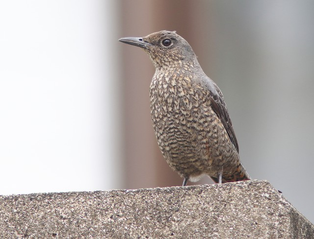 Blue Rock-Thrush (philippensis)