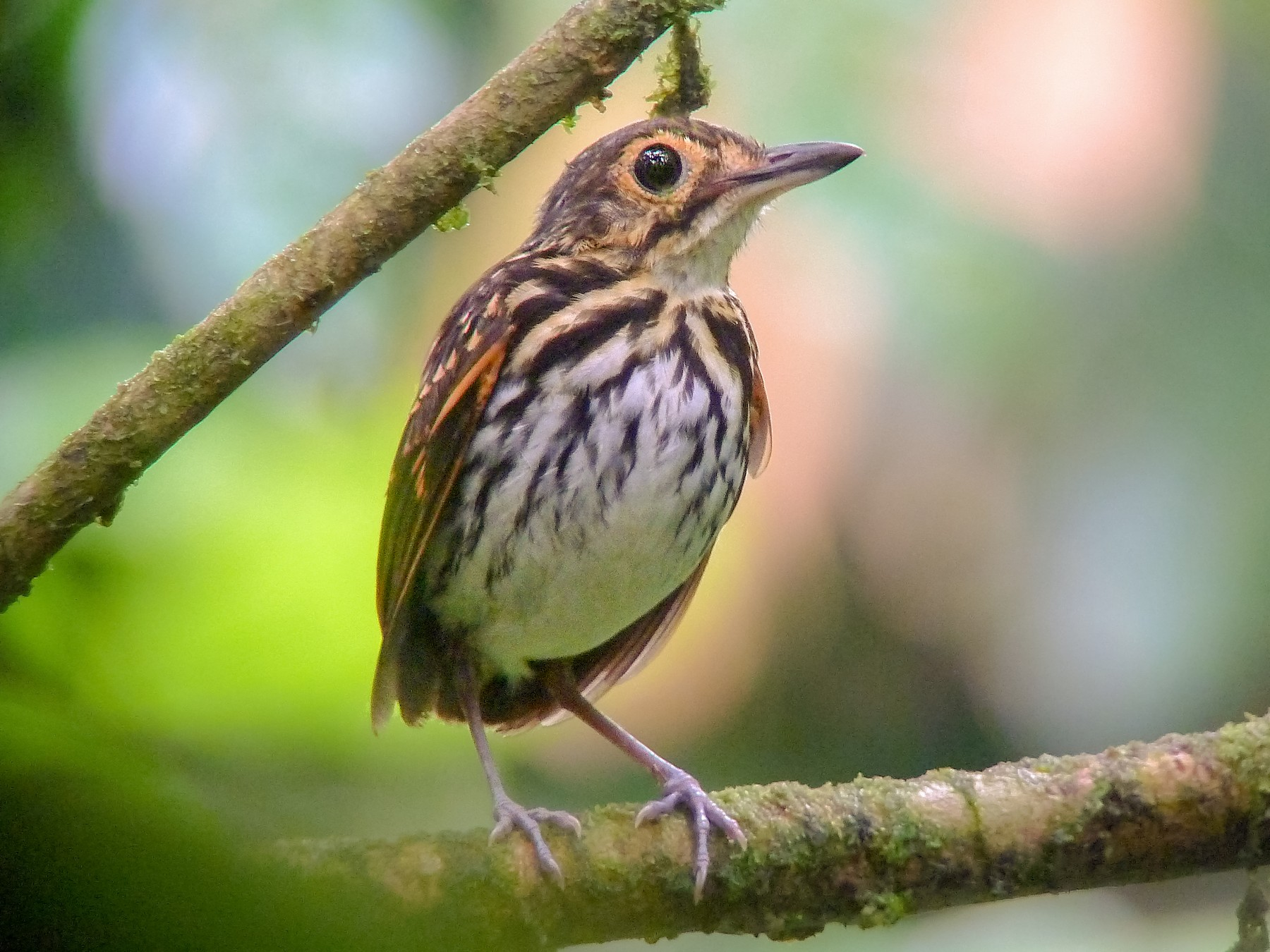 Streak-chested Antpitta - Andres Vasquez Tropical Birding Tours