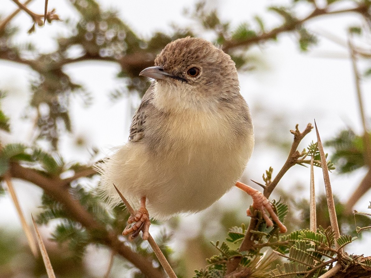 Ashy Cisticola - Forest Jarvis