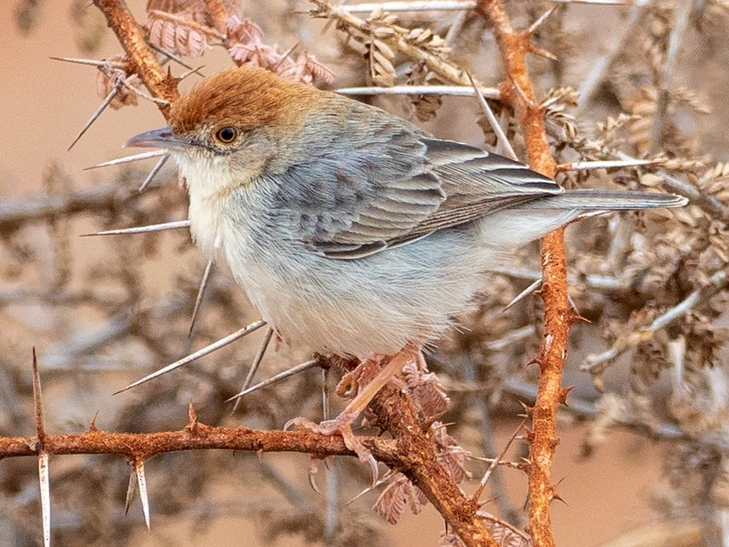 Tiny Cisticola - Forest Jarvis