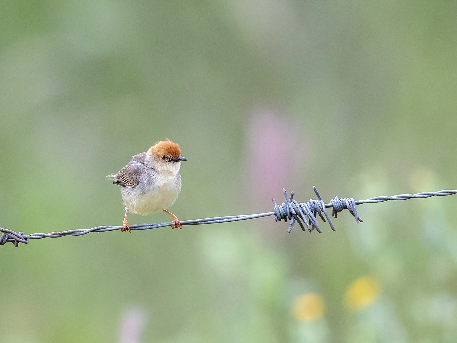 Tiny Cisticola - Niall D Perrins