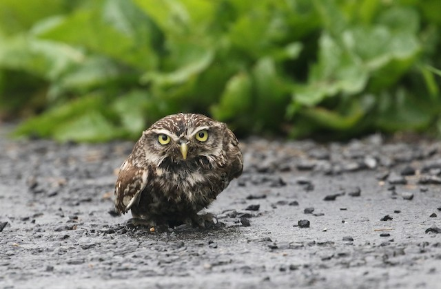 Little Owl (Little)