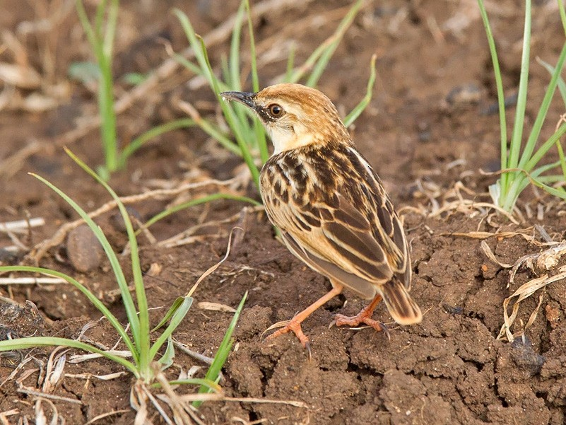 Pectoral-patch Cisticola - Niall D Perrins