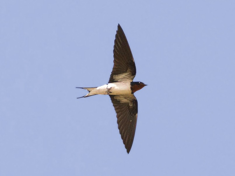 Red-chested Swallow - Eric francois Roualet