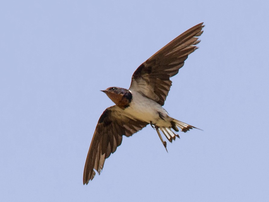 Red-chested Swallow - Chris Wood
