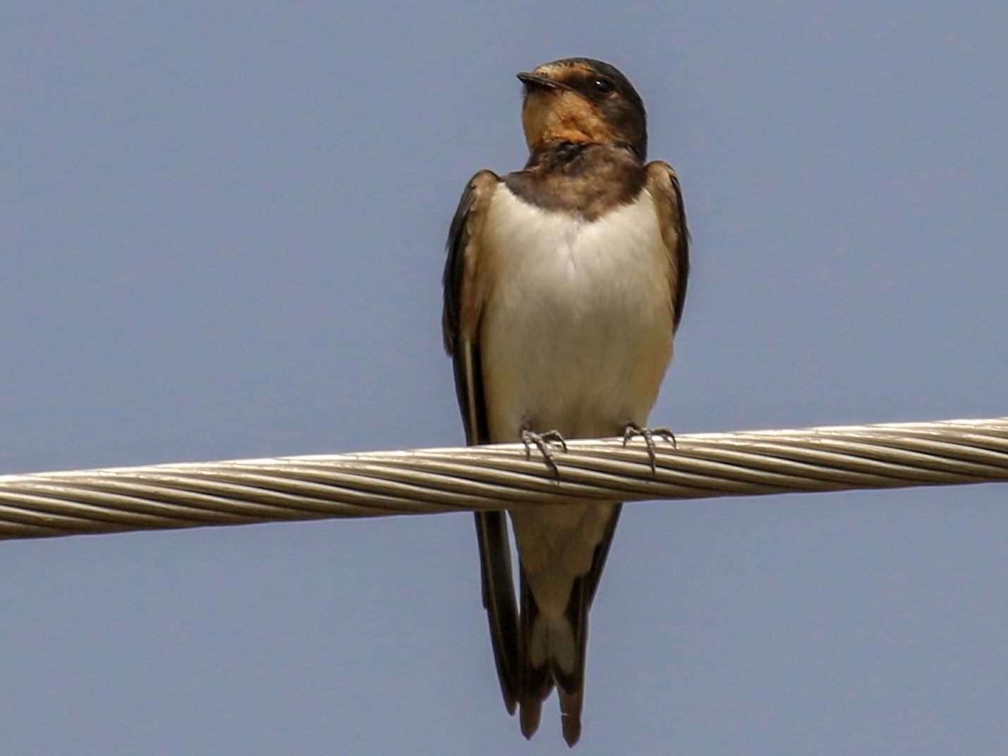 Red-chested Swallow - Fikret Ataşalan